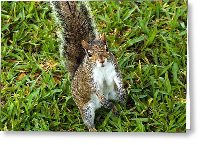 Sciurus Carolinensis Greeting Cards - Eastern Gray Squirrel Greeting Card by Allan  Hughes