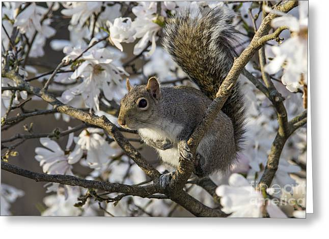 Eastern Gray Squirrel - D009897 Greeting Card by Daniel Dempster