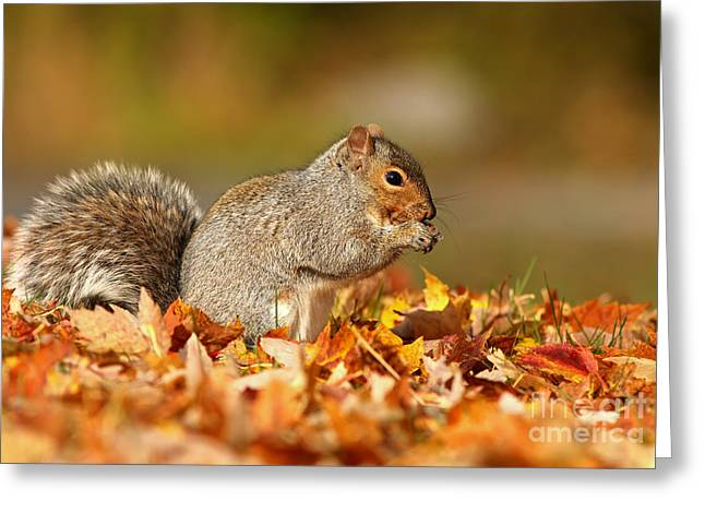 Eastern Gray Squirrels Greeting Cards - Eastern gray squirrel in the golden light Greeting Card by Mircea Costina Photography