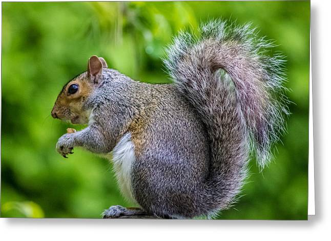 Acorns Greeting Cards - Eastern Grey Squirrel Greeting Card by Martin Newman
