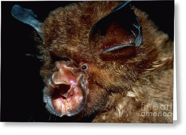 Eastern Horseshoe Bat Greeting Card by Michael Moore