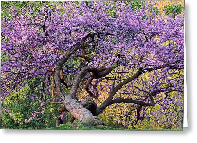 Gnarly Greeting Cards - Eastern Redbud Arlington Virginia Spring Bloom Greeting Card by Mark VanDyke