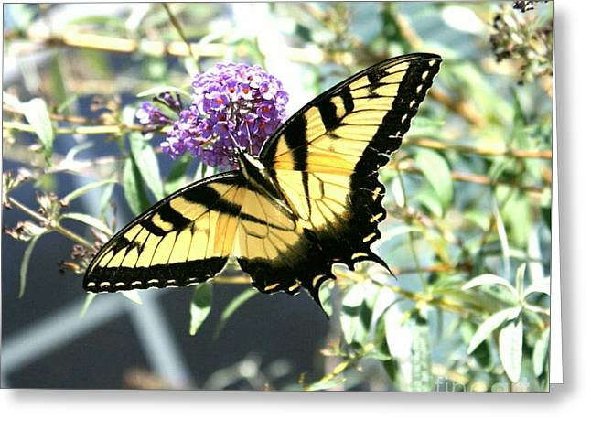 Eastern Tiger Swallowtail Butterfly Greeting Card by Scott D Van Osdol