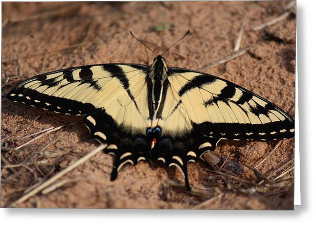 Common Tiger Butterfly Greeting Cards - Eastern Tiger Swallowtail Greeting Card by Nicholas Miller