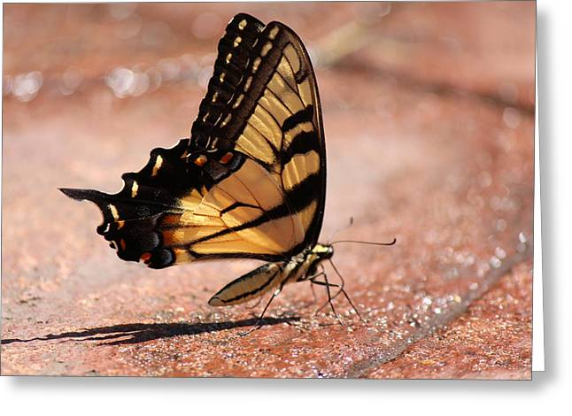 Common Tiger Butterfly Greeting Cards - Eastern Tiger Swallowtail Two Greeting Card by Nicholas Miller