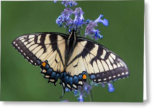 Office Space Greeting Cards - Eastern Tiger Swallowtail Wingspan Greeting Card by Patti Deters