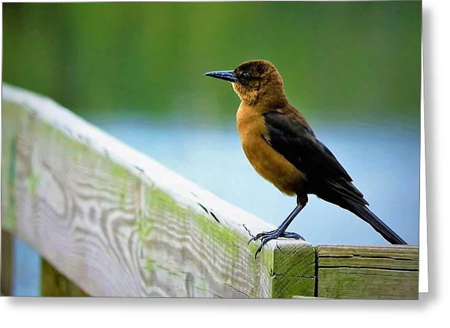 Easy Catch Or Handout Female Grackle Greeting Card by Diann Fisher