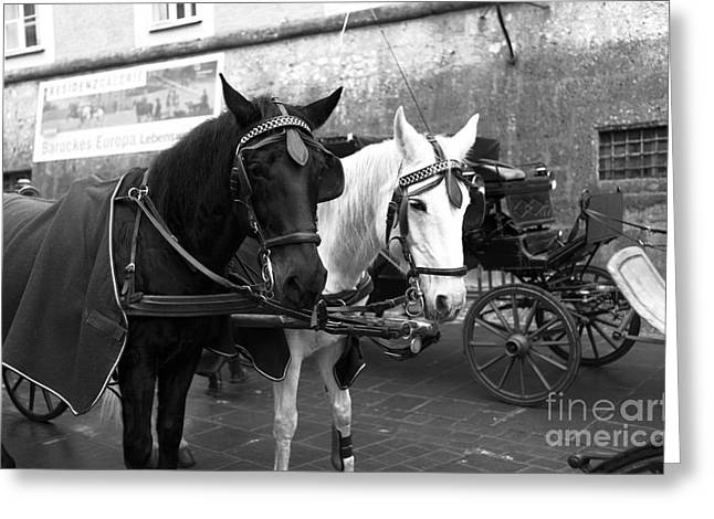 Horse And Buggy Greeting Cards - Ebony and Ivory in Salzburg Greeting Card by John Rizzuto