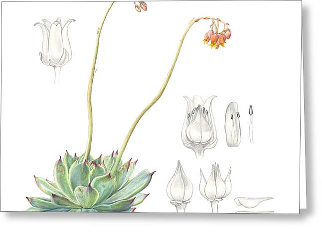 Botanical Drawings Greeting Cards - Echeveria spp. Greeting Card by Logan Parsons