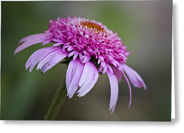Ruffled Petals Greeting Cards - Echinacea Pink Double Delight Greeting Card by Teresa Mucha