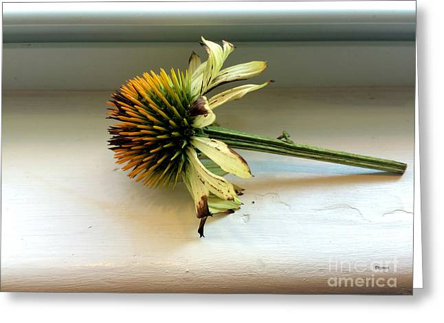 Yellow Coneflower Greeting Cards - Echinacea Greeting Card by Steven  Digman