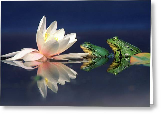 Three-quarter Length Greeting Cards - Edible Frog Rana Esculenta Two Frogs Greeting Card by Wim Weenink
