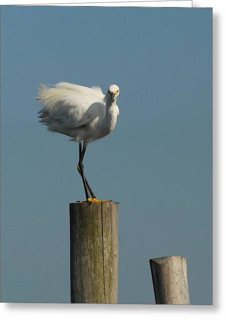 Sea Birds Greeting Cards - Egret 24 Greeting Card by Joyce StJames