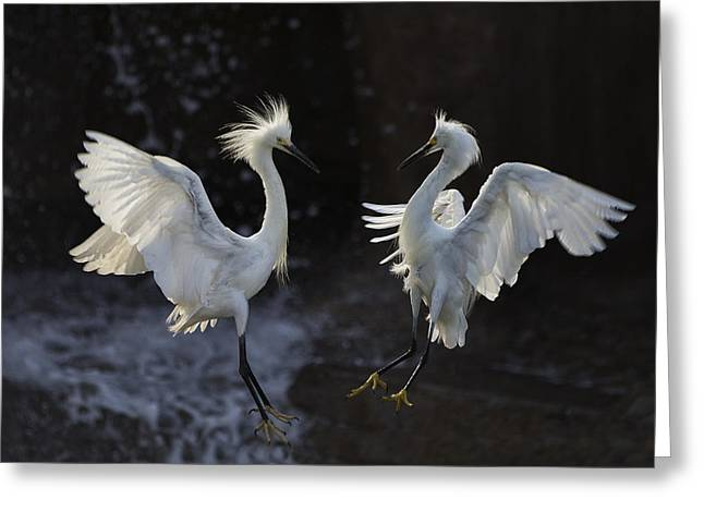 Egret Greeting Cards - Egret Greeting Card by C.s.tjandra