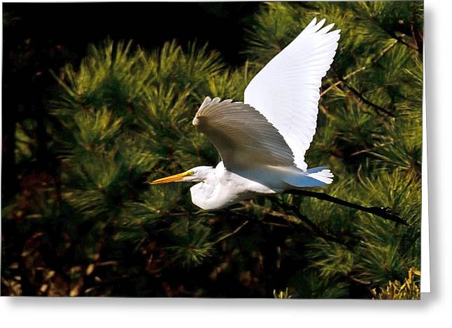 Great Egret Greeting Cards - Egret in Flight 1 Greeting Card by Lara Ellis