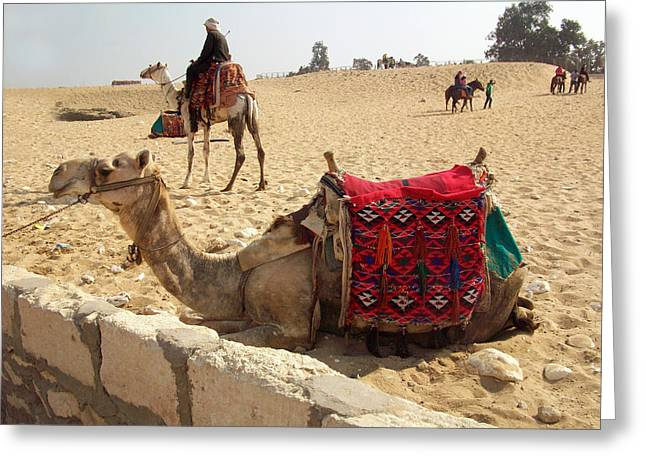 Pyramids Greeting Cards Greeting Cards - Egypt - Camel getting ready for the ride Greeting Card by Munir Alawi