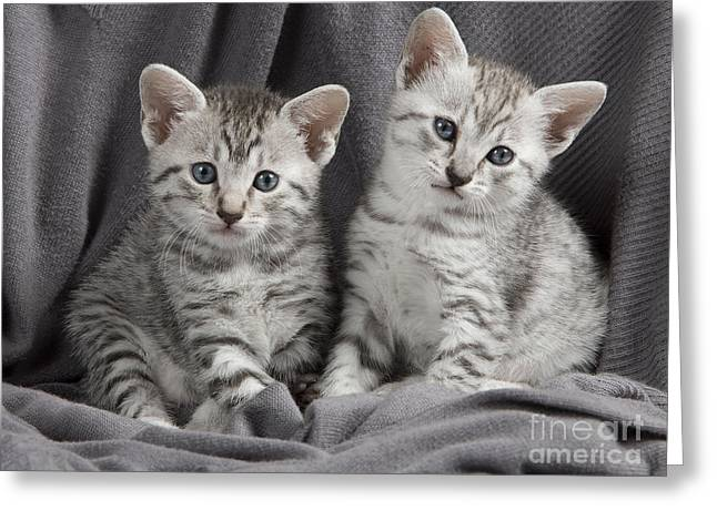 On Blanket Greeting Cards - Egyptian Mau Kittens Greeting Card by Jean-Michel Labat