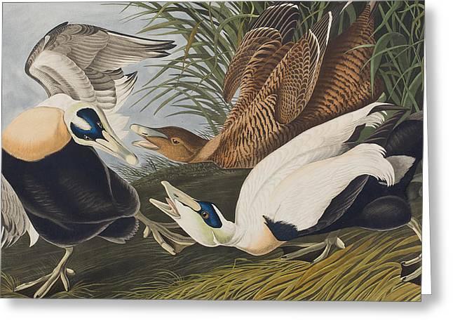 Eider Duck Greeting Card by John James Audubon