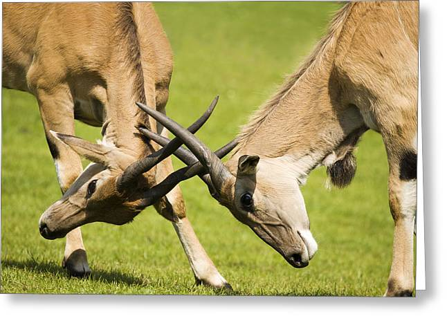 Animal Behaviour Greeting Cards - Eland Antelopes Sparring Greeting Card by Power And Syred