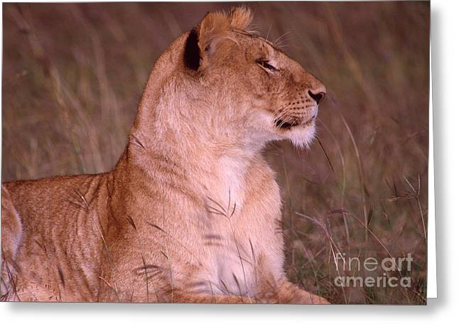 Lioness Greeting Cards - Elegant African lion Greeting Card by Legacy Images