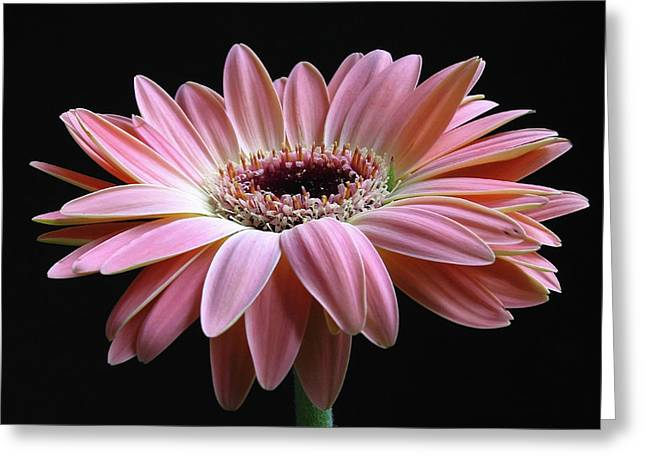 With Love Greeting Cards - Elegant Daisy  Greeting Card by Juergen Roth