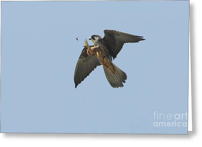 Morph Greeting Cards - Eleonoras Falcon Greeting Card by Richard Brooks/FLPA