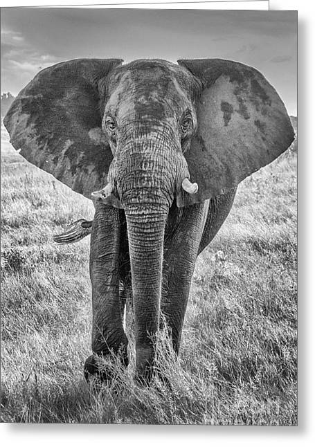 Zimbabwe Greeting Cards - Elephant 2 Greeting Card by Pat Lucas