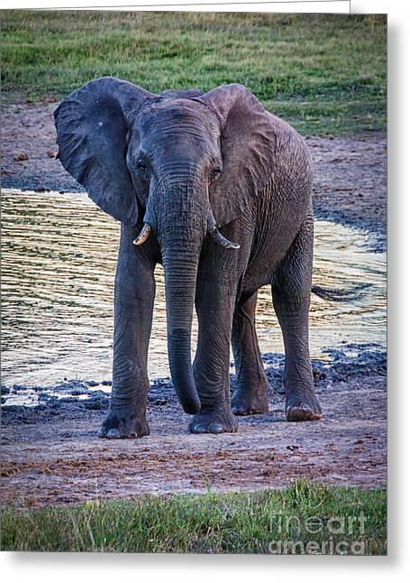 Elephants Eye Greeting Cards - Elephant 4 Greeting Card by Pat Lucas