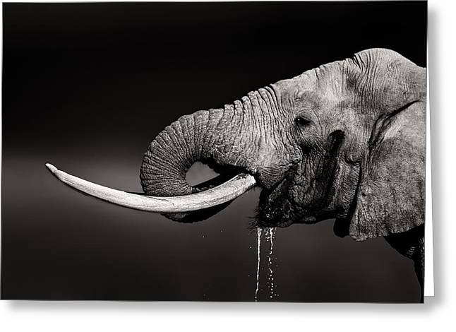 Elephant Bull Drinking Water - Duetone Greeting Card by Johan Swanepoel