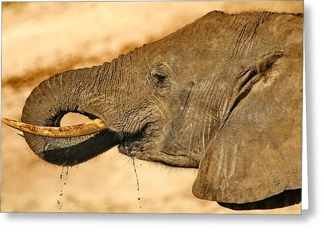 Elephant Drinking Greeting Cards - Elephant Dribble Greeting Card by Tom Cheatham