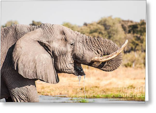 African Heritage Greeting Cards - Elephant Drinking Water Greeting Card by Jacques Jacobsz