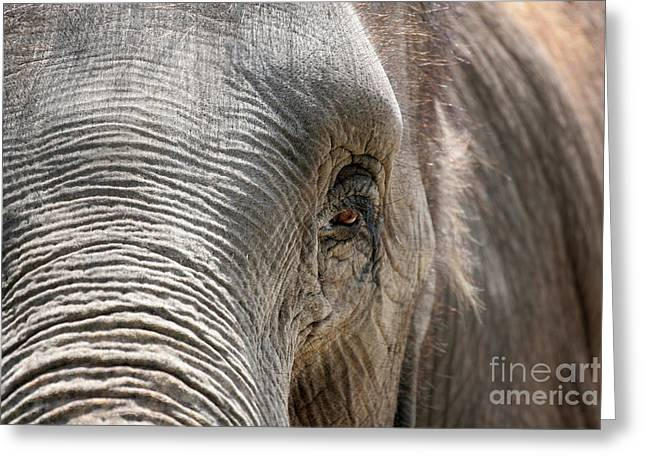 Eye Greeting Cards - Elephant Eye Greeting Card by Jeannie Burleson