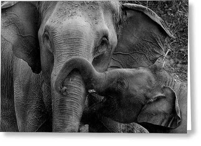 Animals Love Greeting Cards - Elephant in Black and White Greeting Card by Pojcheewin Yaprasert