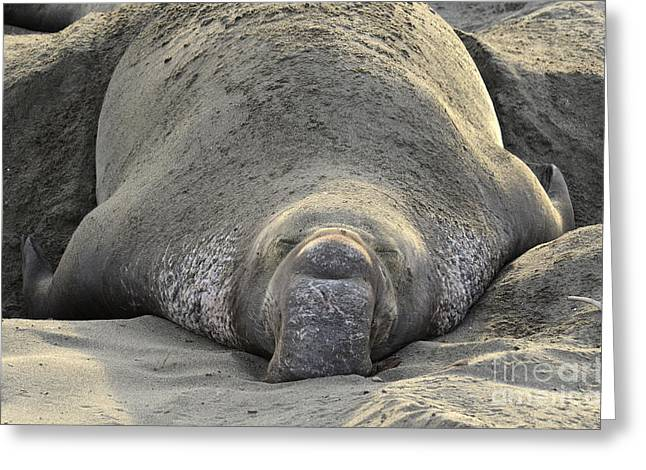 Mating Season Greeting Cards - Elephant Seal 3 Greeting Card by Bob Christopher