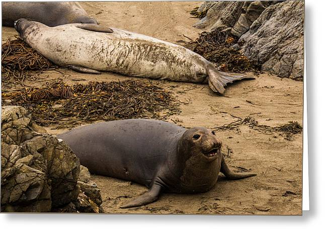 Elephant Seals Greeting Cards - Elephant Seal Challenge 4 Greeting Card by Danny Goen