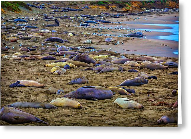 Elephant Seal Coloney Greeting Card by Garry Gay