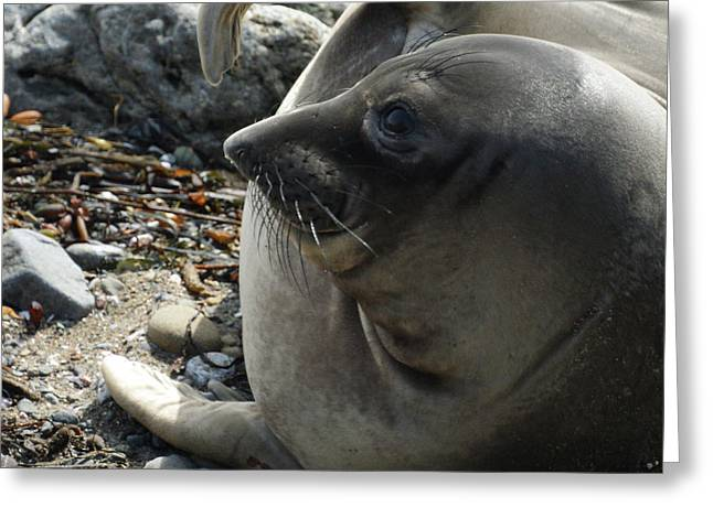Elephant Seals Greeting Cards - Elephant Seal Greeting Card by Ernie Echols