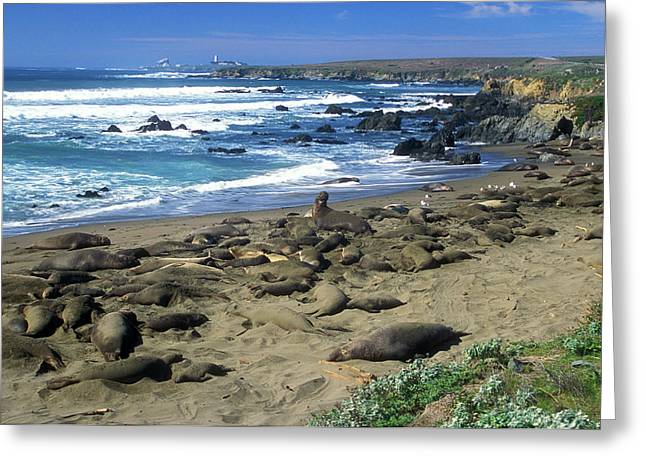 Elephant Seals Greeting Cards - Elephant Seal Rookery Greeting Card by John Burk
