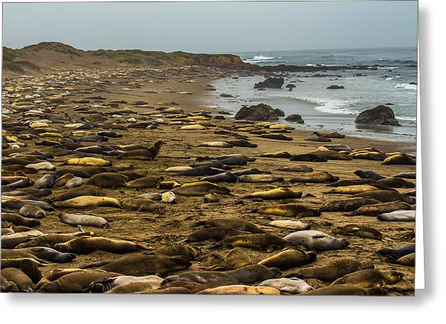 Elephant Seals Greeting Cards - Elephant Seal Rookery Point Piedras Blancas Greeting Card by Danny Goen