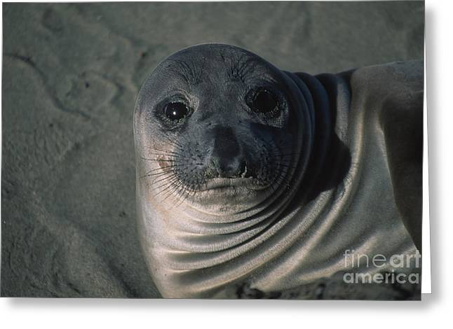 Best Sellers -  - Elephant Seals Greeting Cards - Elephant Seal Weaner Greeting Card by Stan and Anne Foster