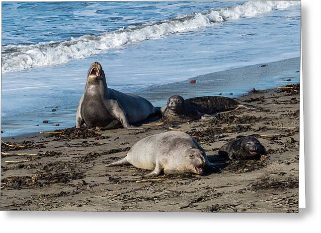 Elephant Seals Greeting Cards - Elephant Seals at San Simeon Greeting Card by Patti Deters
