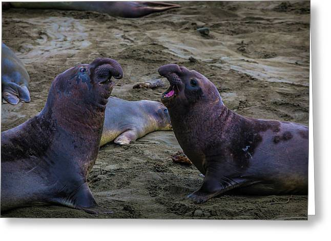 Elephant Seals Challenging Each Other Greeting Card by Garry Gay
