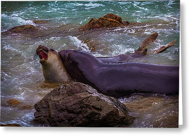 Elephant Seals Fighting In The Water Greeting Card by Garry Gay