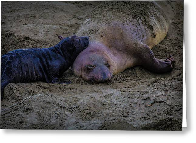 Elephant Seals Mom And Pup Greeting Card by Garry Gay