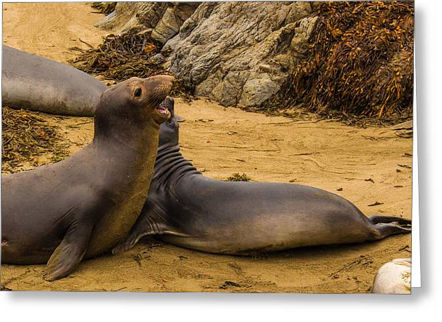 Big Sur Beach Greeting Cards - Elephant Seals Sparring Greeting Card by Danny Goen