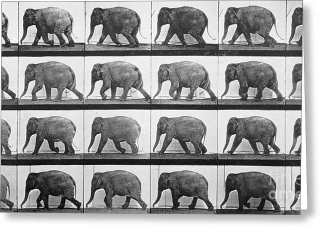 Sequential Greeting Cards - Elephant Walking Greeting Card by Eadweard Muybridge