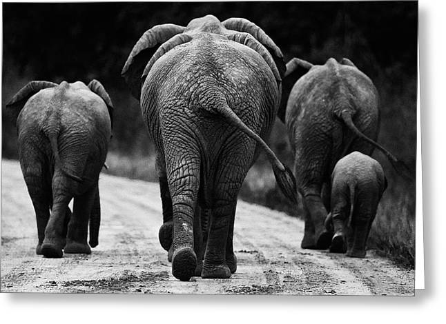 Animal Photographs Greeting Cards - Elephants in black and white Greeting Card by Johan Elzenga