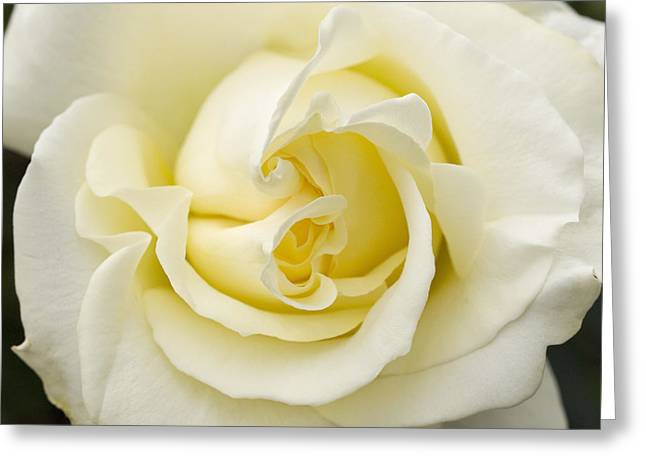 Nature Center Greeting Cards - Elina Rose Greeting Card by Denise Saldana