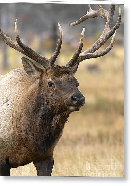 Elk Wildlife Greeting Cards - Elk Approach Greeting Card by John Blumenkamp
