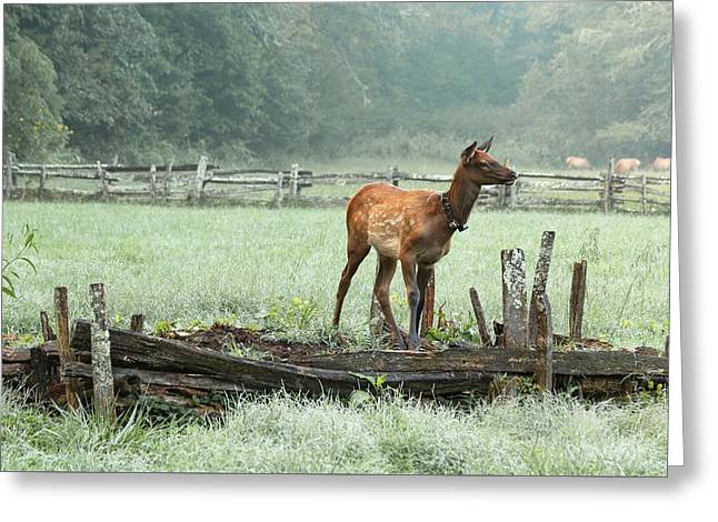 Elk Calf In The Mist In The Great Smoky Mountains National Park Greeting Card by Carol R Montoya